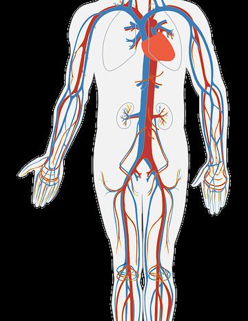 Common Peripheral Vascular Treatment Procedures In Melbourne