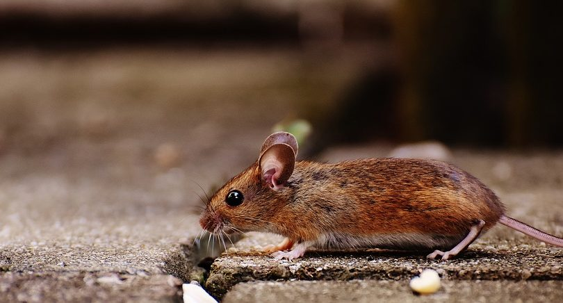 Rodent Proofing Services Seattle Company For Home Inspection And Rat Proofing Services