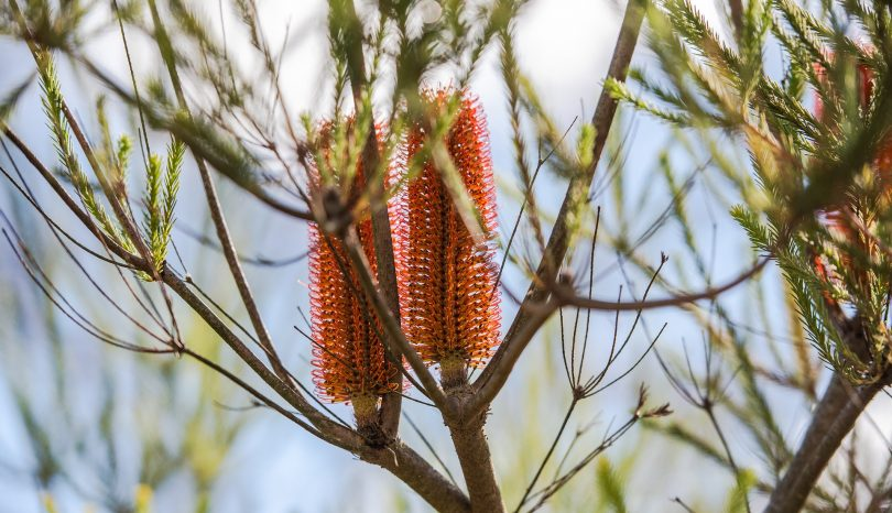 Banksias Are A Bees Best Friend